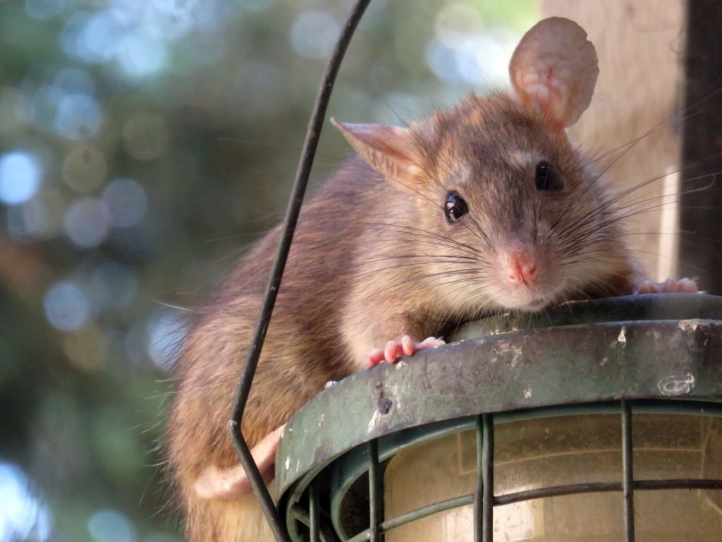 Pests and Critters - Attic Inspections
